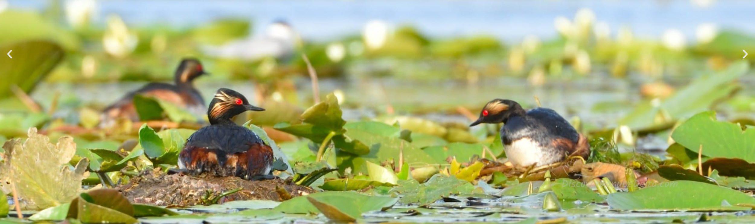 Duna Delta - Természetbúvároknak kínált programok: madarak megfigyelése, filmezése, fényképezése